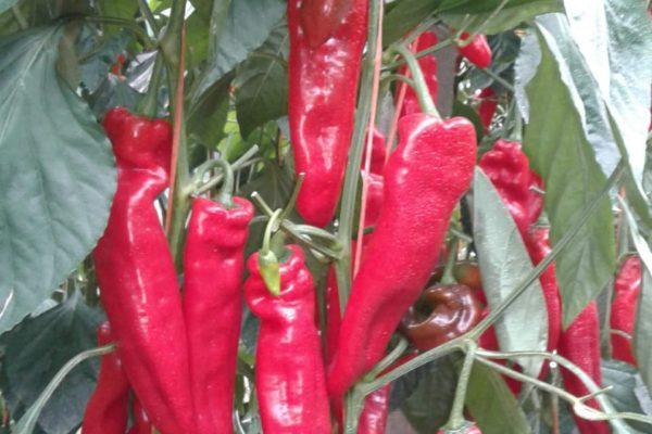 sweet-palermo-cultivo-rojo-01