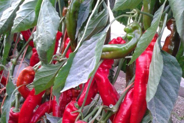 sweet-palermo-cultivo-rojo-07